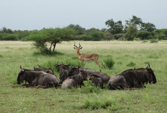 A gazelle and a herd of wildebeests in Kruger National Park in South Africa
